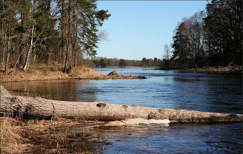 g_Beaver_felled_tree_trunk_in_river_154180663529020377.jpg